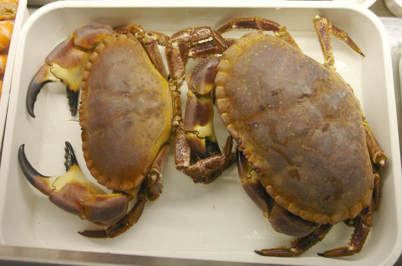 Brown crabs
