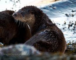 Otters on Loch Leven by Andy Harpur
